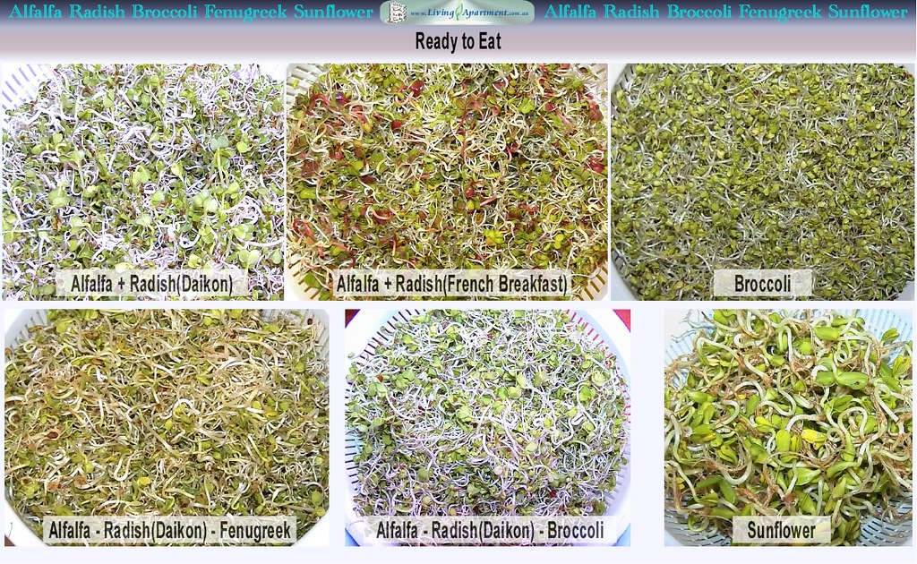 Radish Seeds Sprouting Sprouting Alfalfa Radish