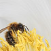 Small photo of Ch'tite Abeille