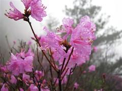 盛开的杜鹃花很是美丽。
