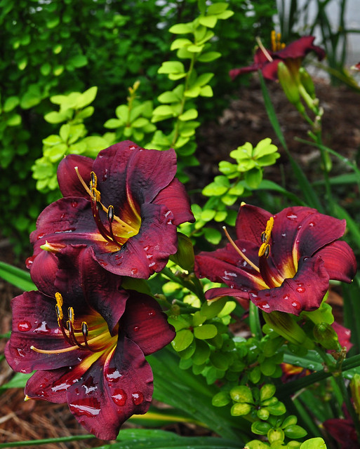 Hemerocallis (Unknown to Me) (3)
