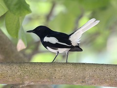 animal, fauna, emberizidae, beak, eurasian magpie, bird, wildlife,