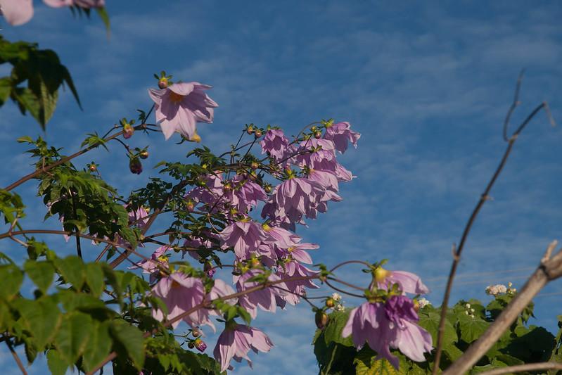 Tree Dahlia flowers