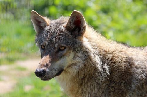 Wer hat Angst vor dem bösen Wolf? by Claudia Ostermann