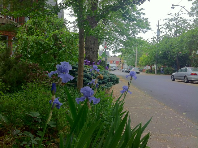 neighbourhood irises