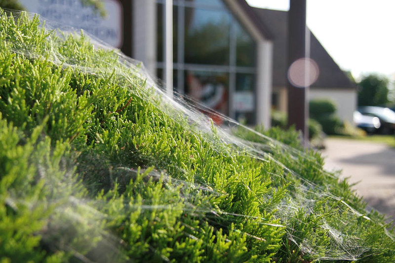 Cobwebs In Sun