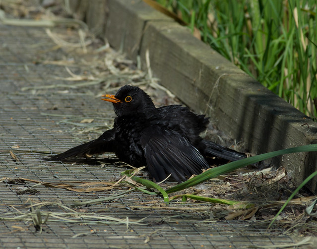 sunbathing blackbird