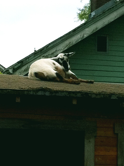 Goat on the Roof