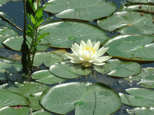 Lily in bloom on Lily Lake by Farmhouse Greetings