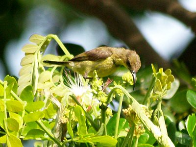 20120602_birdcountsunbirdfemale