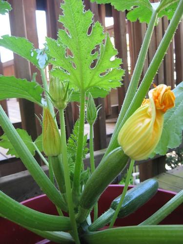 container zucchini 6/3/12