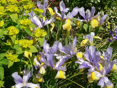 June garden 040 Iris reticulata