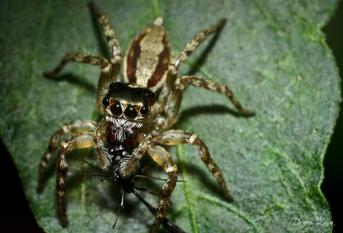 jumping spider and prey (1 of 1)