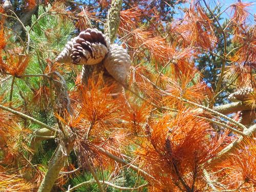 Acorns in the Tree
