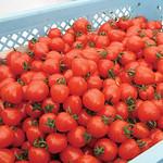 沼畑総合ファームトマト