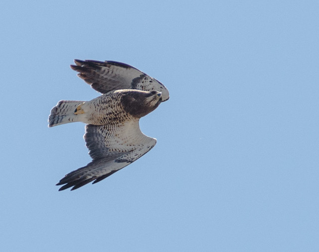 swainsons_hawk_20140413_116