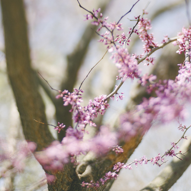 Purple Tree Blooms, Trina Baker Photography