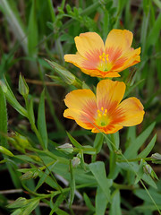 Ennis - Yellow Flax