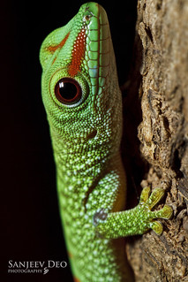 Baby Day Gecko