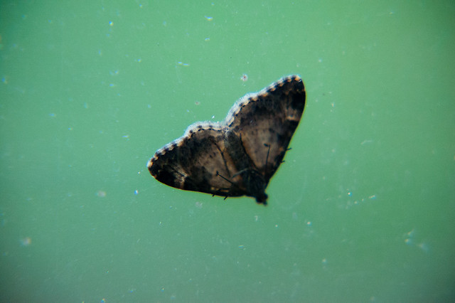 Unidentified speckled moth, possibly carpet moth