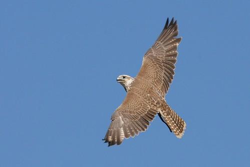 falco cherrug by Joachim S. Müller