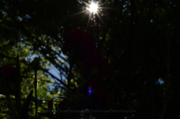dianthus-in-sunshine-sooc