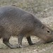 Small photo of Capybara (Hydrochoerus hydrochaeris), Amazona Zoo