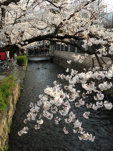 高瀬川にかかる桜