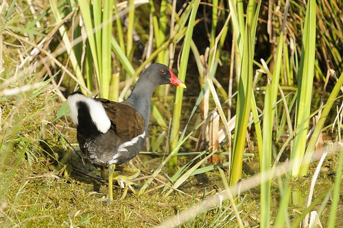 Moorhen by Andy Pritchard - Barrowford