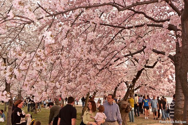 Cherry Blossom Festival-7