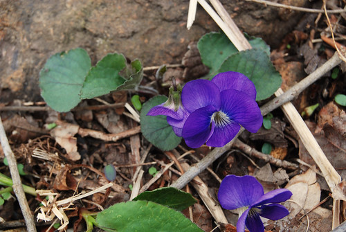Purple Violet wildflower Viola sp. growing in the Missouri Ozarks.