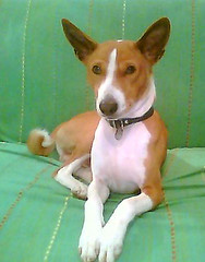 dog sports(0.0), animal sports(0.0), hound(0.0), brazilian terrier(0.0), sighthound(0.0), sports(0.0), toy fox terrier(0.0), russell terrier(0.0), dog breed(1.0), animal(1.0), dog(1.0), pet(1.0), podenco canario(1.0), ibizan hound(1.0), miniature fox terrier(1.0), carnivoran(1.0), basenji(1.0),