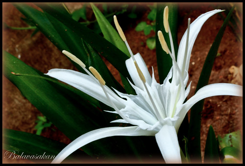White Lily Flower