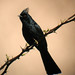 Phainopepla - Photo (c) K Schneider, some rights reserved (CC BY-NC)