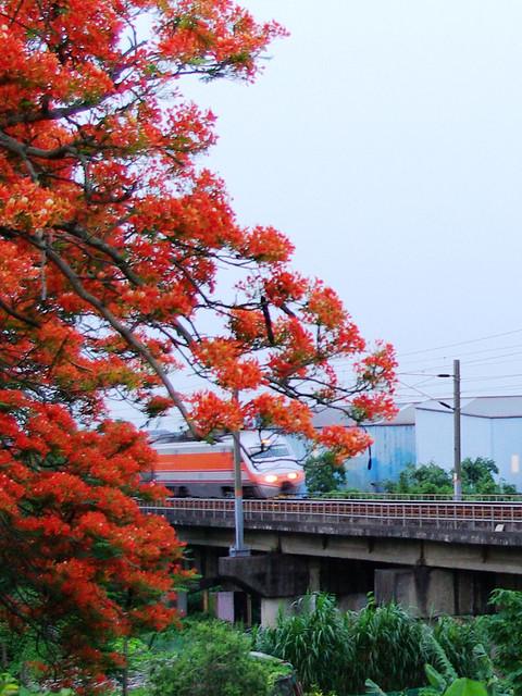 鳳凰花開在造橋
