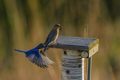 Bluebirds and Worms-7896_.jpg by Mully410 * Images
