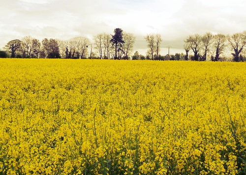 golden field of colza