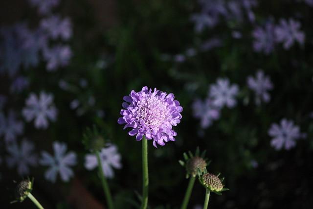 purple flwoer