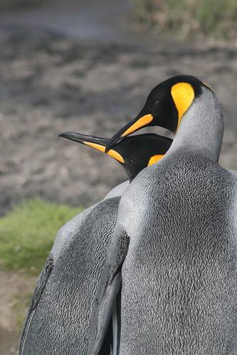 King penguins by DJG.Sydney