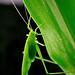 Katydids by Pai Shih