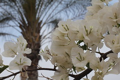 White flowers and palm tree