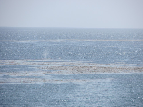 whales headed north
