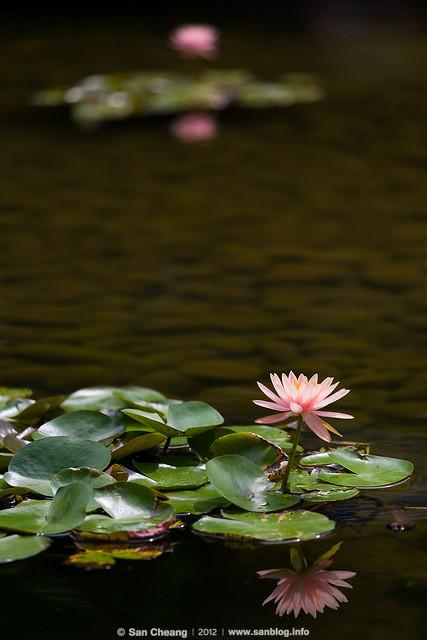 flower_MayLotus-0264