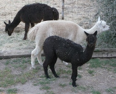 alpacagirls