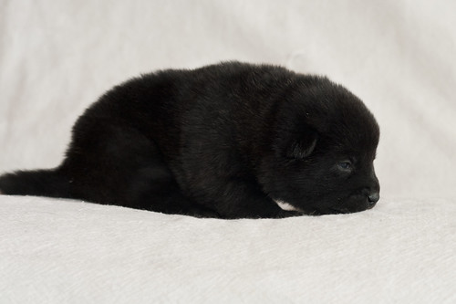 Haru-Third-Litter-Pup4-Female-Day15b