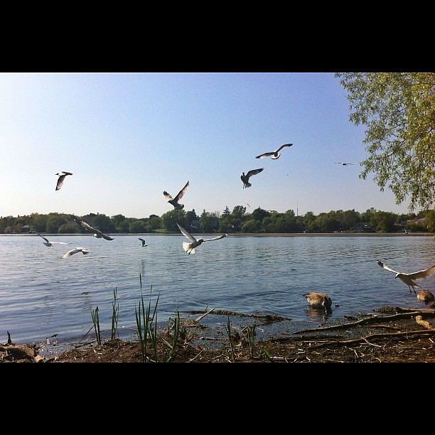 Kingston marina #seaguls #birds #lake #ontario #canada #landscape #nature
