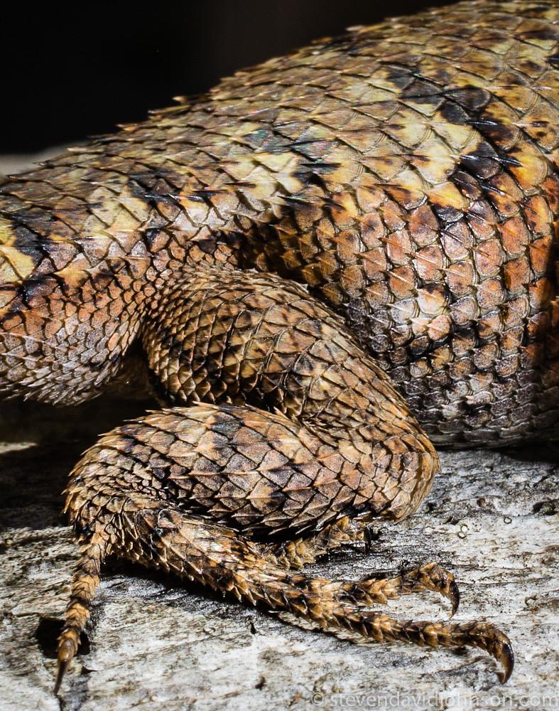 Eastern fence lizard, Shenandoah River State Park, Virginia (detail of hind leg)