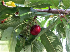 We have cherries!