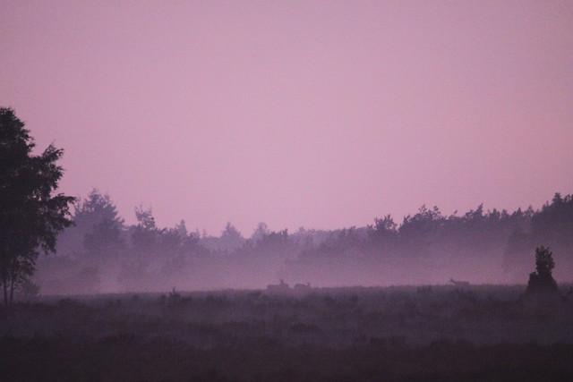 Reeën aan de bosrand in de avondschemering