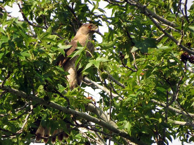 adult Cooper's Hawk
