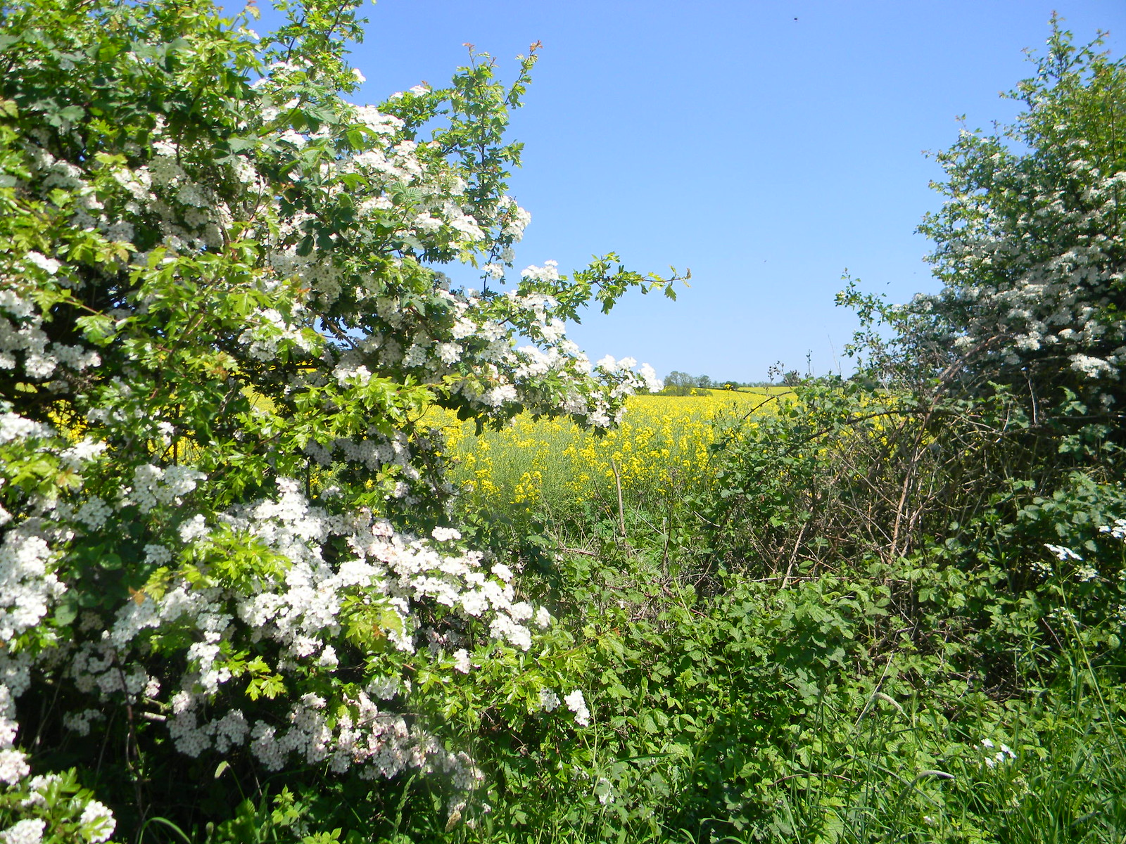 Hawthorn and rapefield Moreton-in-Marsh Circular